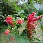 Lepidagathis floribunda