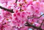 cerejeira OK