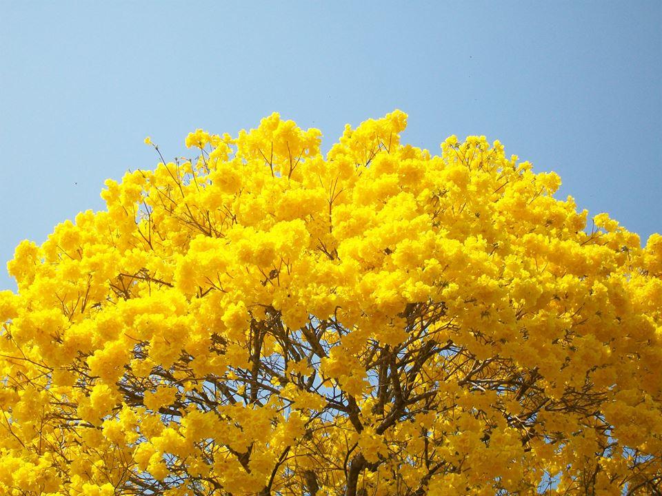 Muitas vezes Ipês: As cores do Inverno brasileiro – Jornal d'aqui BV85