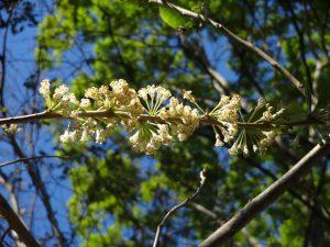 Flores da Acnistus arborescens