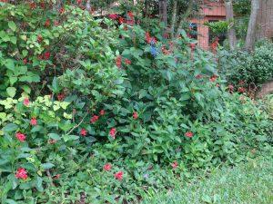 Flores da Ruellia elegans, Ruellia squarrosa, Salvia guaranítica, Salvia spendens e Pentas lanceolata.