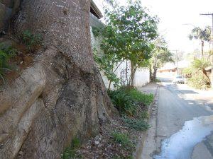 Chorisia speciosa plantada antes da pavimentação de rua residencial na Granja Viana