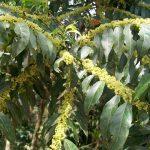 Flores da Casearia sylvestres