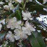 Flores da Eugenia brasiliensis