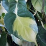Philodendron)