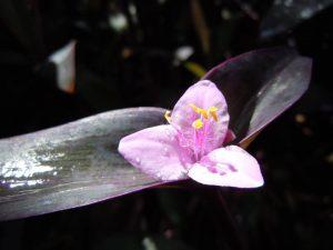 Tradescantia pallida var. purpurea